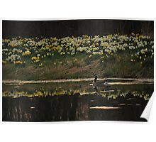 Daffodil Reflections Poster