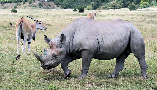 Rhinocerous 11 by rhallam