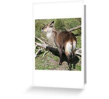 Waterbuck Greeting Card