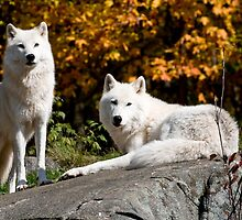 Arctic wolves - Parc Omega, Montebello, PQ by Tracey  Dryka