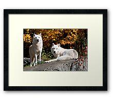 Arctic wolves - Parc Omega, Montebello, PQ Framed Print