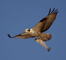 Osprey Fisher by Jenlin01
