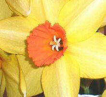 Spring Daff by karenkirkham