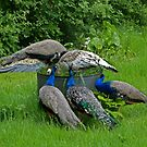 Peacocks get together by Sandra Caven