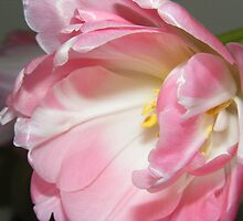 Pink tulip. by Livvy Young