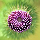 Thistle by jimmy hoffman