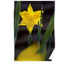 Daffodil in the Garden Poster