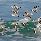Snowy Plovers in Flight by Leroy Laverman
