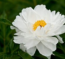 Peony - Krinkled White, Ottawa, ON by Tracey  Dryka