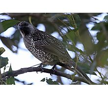 Brush Wattlebird Photographic Print