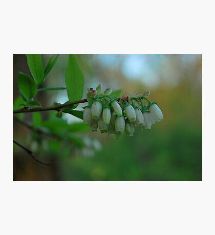 Morning Bells,  Photographic Print