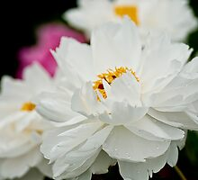 Peony - Central Experimental Farm, Ottawa by Tracey  Dryka