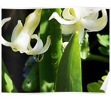 Dew Drops and Hyacinths Poster
