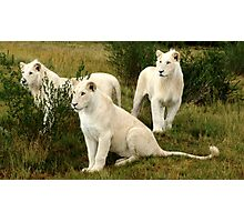 3 FRIENDS  (Young White Lions) Photographic Print