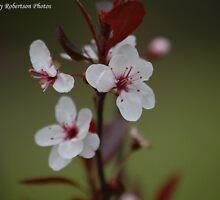 Purple-leaf Plum Blossoms II by zpawpaw