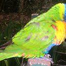 Rainbow Lorikeet by Maltie