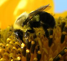 Bumble Bee Closeup by mickphoto