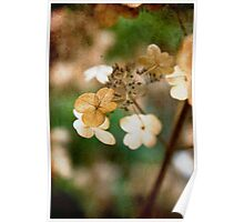 Dried hydrangea Poster