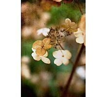 Dried hydrangea Photographic Print