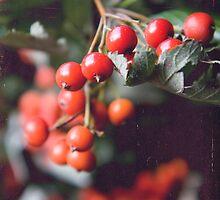 Rowan berries by Kasia Fiszer