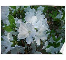 white azalea cluster Poster