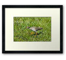 Hunting Redshank Framed Print