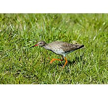 Hunting Redshank Photographic Print
