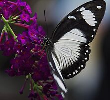 Butterfly - Carleton University, Ottawa, Ontario by Tracey  Dryka
