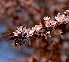 Japanese Cherry by EHRETic