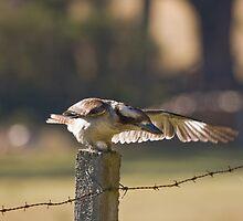 Kookaburra on Fencepost by Chris Cobern