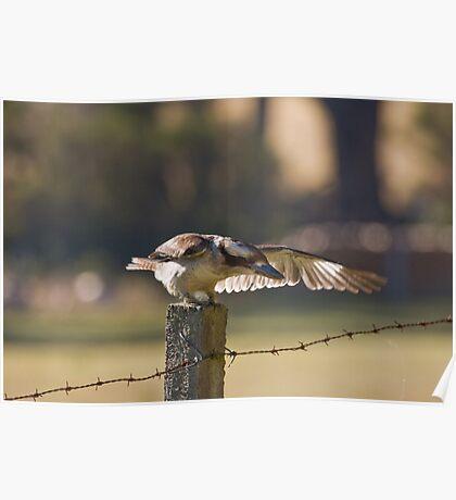 Kookaburra on Fencepost Poster