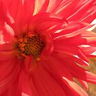 Journey into Scarlet - Red Dahlia Macro by BlueMoonRose