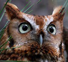 A Screech Owl Named Lana by Lolabud