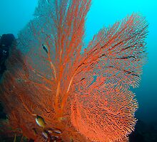 Orange Fan Coral - Philippines by Sean Elliott