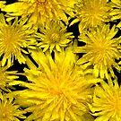 Dandelions by Stephen D. Miller