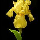Yellow Iris by Stephen D. Miller