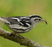 Black and White Warbler by NAmelotte