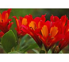 Red Alstroemeria Photographic Print