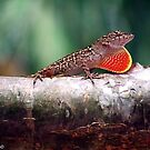 Brown Anole Threat Display by Katherine Haluska