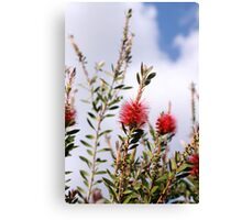 Bottlebrush Canvas Print