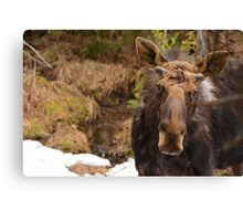 Spring Bull Moose Canvas Print