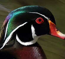 Wood Duck by Pierre Leclerc