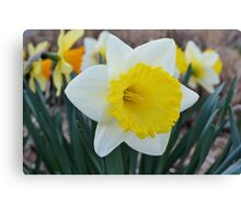 Daffodil in the Garden Canvas Print
