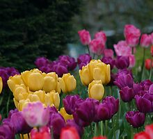 Tulips in Bloom by hanne