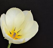 White Tulip Just Opening by Kathleen Brant