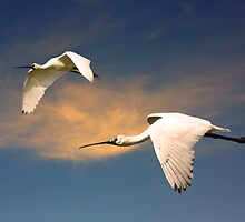 Flight of the Spoonbills by byronbackyard