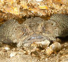 Eastern Frogfish - Batrachomoeus dubius by Andrew Trevor-Jones