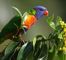 Rainbow Lorikeet in Golden Penda Tree 02 - Sunshine Coast - Queensland - Australia by AMP  Al Melville Photography