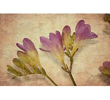 Freesia spray Photographic Print