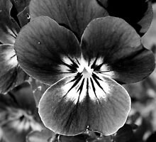 Pansy in B&W by wildone